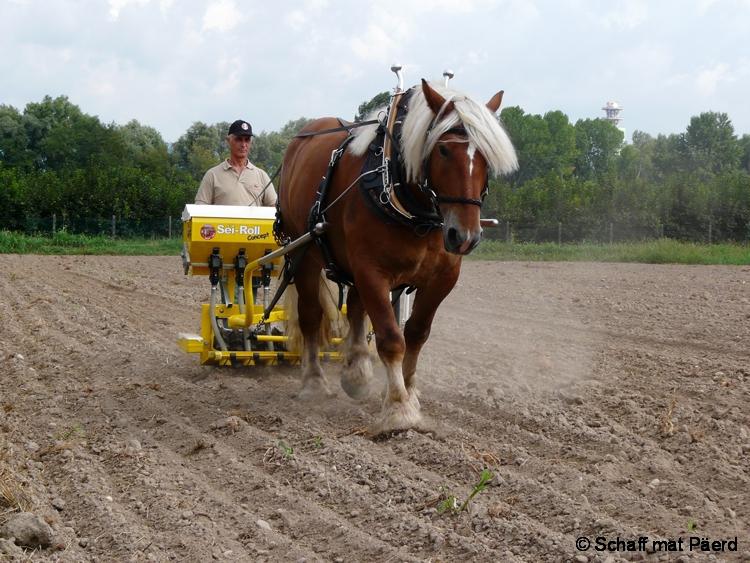 Cavallo agricolo italiano 34